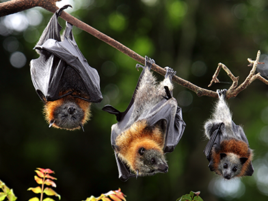Australian Bat Lyssavirus in flying foxes