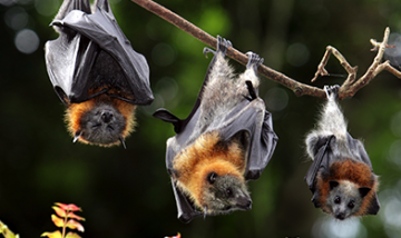 Australian Bat Lyssavirus in flying foxes